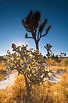 Morning light through Cholla Cactus, Joshua Tree National Park, California