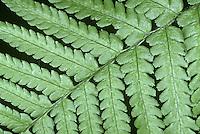 Scaly Male Fern - Dryopteris borreri