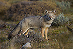 South American Gray Fox (Lycalopex griseus), Torres del Paine National Park, Patagonia, Chile