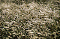 Europe/France/Auvergne/12/Aveyron/Larzac: Cheveux d'ange (Stipa tenuifolia) au vent