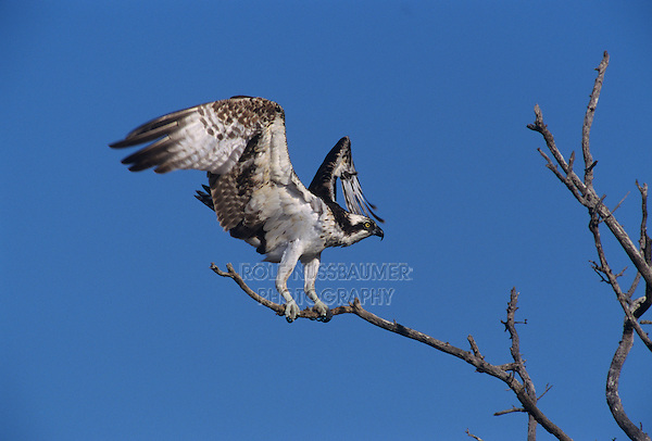 Osprey, Pandion haliaetus,adult landing, Sanibel Island, Florida, USA
