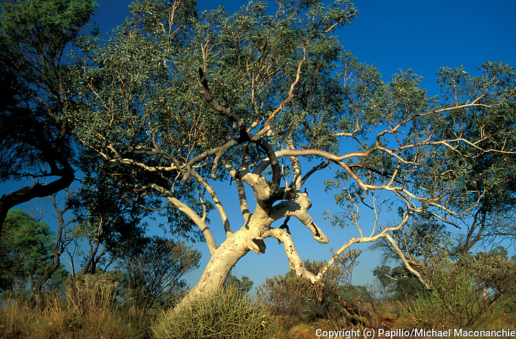 River Red Gums, Eucalpptus camaldule, Western Australia