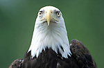 Bald Eagle, Haliaeetus leucocephalus, portrait, USA, controlled situation, symbol of America.USA....