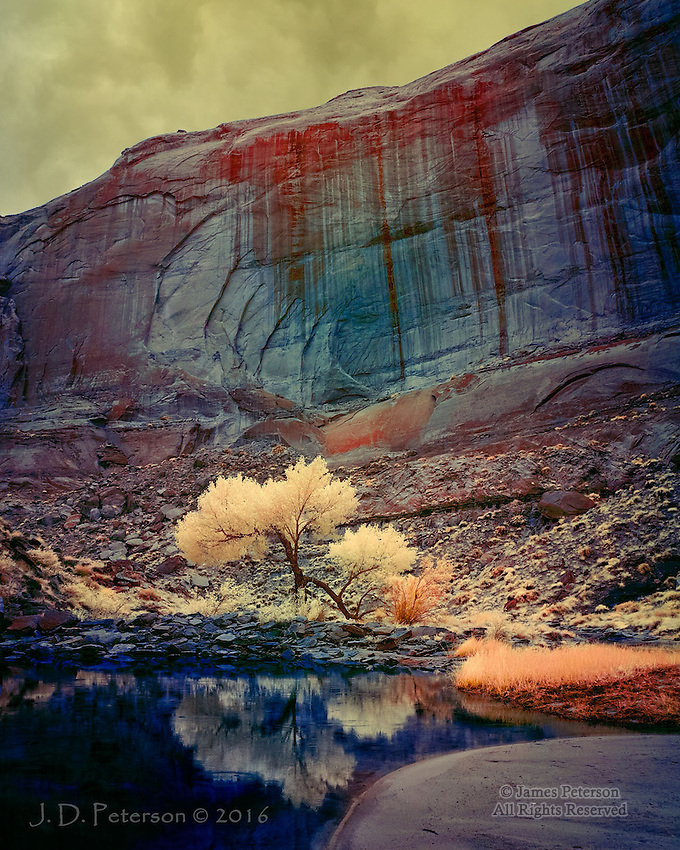 Lone Cottonwood in Pool Canyon, near Lake Powell (Infrared).  <br />