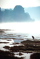 Great blue heron in morning mist, White River, Arkansas