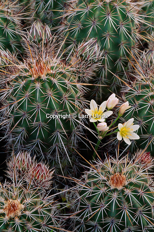 False garlic and Engelmann's hedgehog<br /> Tonto Basin<br /> Tonto National Forest<br /> Sonoran Desert,  Arizona