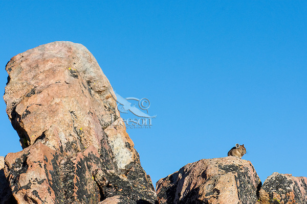 American pika (Ochotona princeps) sunning itself on a favourite lookout rock in its alpine, boulder field home.  Beartooth Mountains, Wyoming/Montana.  Summer.  This photo was taken in alpine setting at around 11,000 feet (3350 meters) elevation.