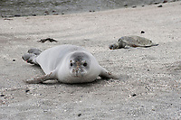 Hawaiian monk seal, Neomonachus schauinslandi ( Critically Endangered ), 2.5 year old male rests on beach during annual molt, with patches of old fur clinging to its face, while a small green sea turtle, Chelonia mydas, basks in the background at Pu'uhonua o Honaunau ( City of Refuge ) National Historical Park, Kona, Big Island, Hawaii, USA, Pacific Ocean