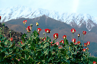 At 3000 meters hight, a Nooristani opium field in the Eastern of Afghanistan.