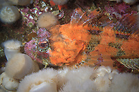 Red Irish Lord ( Hemilepidotus hemilepidotus ) underwater in the islands of Haida Gwaii, British Columbia, Canada.