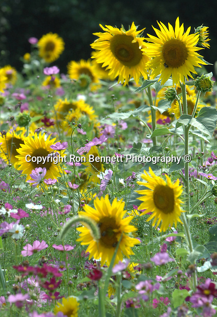Garden of sun flowers with purple flowers Commonwealth of Virginia, Fine Art Photography by Ron Bennett, Fine Art, Fine Art photography, Art Photography, Copyright RonBennettPhotography.com ©