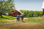 Firestone Road, Huron County, Ohio. Amish cultivating garden with horse.