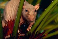 Hairless rat.