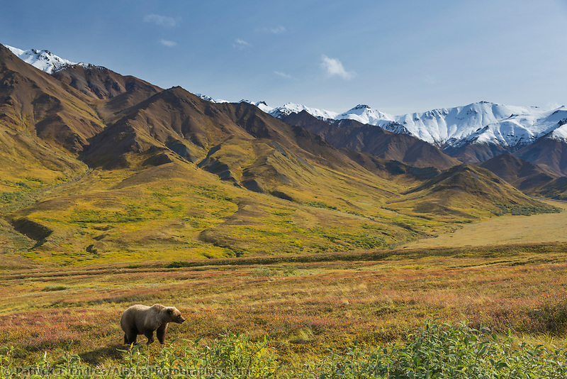 Grizzly bear on the tundra landscape, Alaska Range, Denali National Park, Alaska.