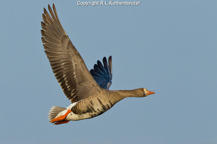 Adult greater white-fronted goose in flight over the tundra near Barrow, Alaska.<br />