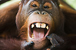 Young male orangutan opening mouth, close-up, (Pongo pygmaeus), endangered species due to loss of habitat, spread of oil palm plantations, Tanjung Puting National Park, Borneo, East Kalimantan,