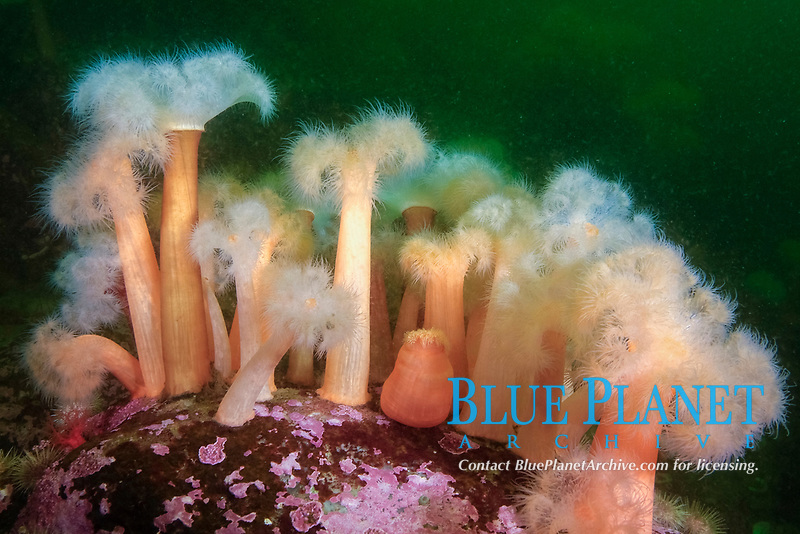 Frilled anemones growing on a rock in the Gulf of Saint Lawrence. frilled anemones, Metridium senile extend tentacles into current to gather food, Gulf of Saint Lawrence, Quebec, Canada, North West Atlantic