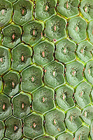Monstera (Monstera Deliciosa) tropical fruit shaped like a banana. Close-up of Monstera fruit skin,Monstera taste like a cross between banana and pineapple