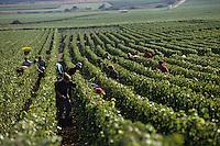 Europe/France/Champagne-Ardenne/51/Marne/Cramant: Côte de blancs - Vendanges manuelles MUMM - Cépage Chardonnay - Vendangeurs dans les rangs de vigne