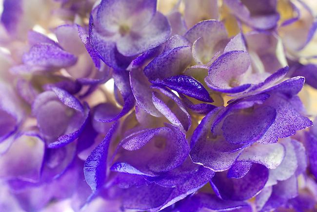 A composition of hydrangia petals