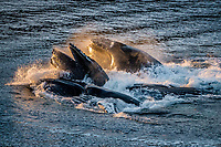Action Photograph of a group of Humpback Whales Bubble net fishing in Alaska.<br />