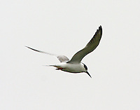 First year Forster's tern