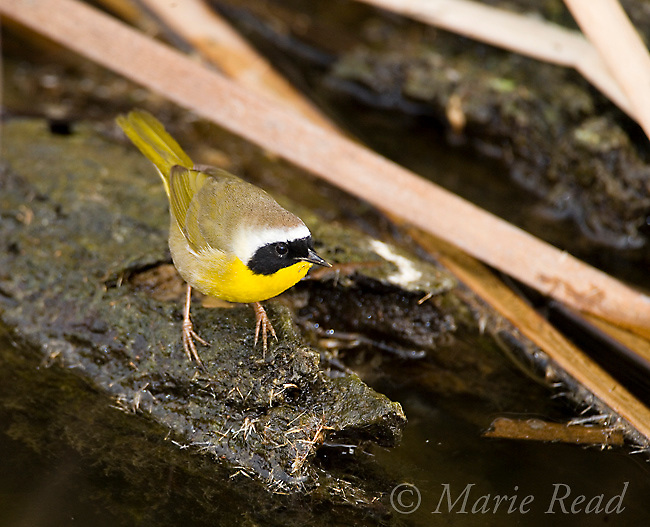 Common Yellowthroat (Geothlypis trichas) male, at water's edge in a cattail marsh, Upper Newport Bay, California, USA