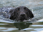 A six-month-old labrador retriever swims in Topaz Lake, near the Nevada/California border on June 9, 2009..Photo by Cathleen Allison