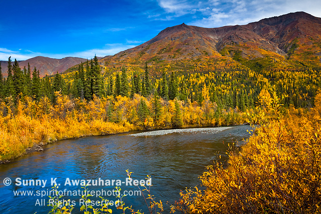 Golden fall colored tundra along Jack Creek under blue sky. Boyden Hills in the background.  Nabesna Road, Wrangell - St. Elias National Park & Preserve, Southcentral Alaska, Autumn.