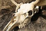 Indian Store. Steer skull.