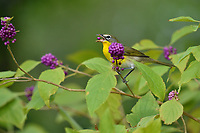 Yellow-breasted Chat (Icteria virens), Hill Country, Central Texas, USA