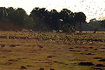 A flock of small birds swirl into the area where sandhill crane have been feeding.