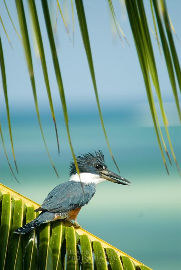 Kingfisher, Isla Bastimentos, Bosad Del Toro, Panama
