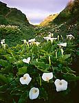 Garrapata State Park, CA<br /> Calla lilies blooming in the Doud Creek drainage at Garrapata Beach