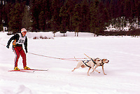 Man skijoring with Dogs in a Race Competition near Falkland, in the North Okanagan Region of British Columbia, Canada