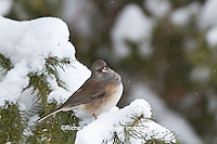 01569-01705 Dark-eyed Junco (Junco hyemalis) in spruce tree in winter, Marion Co., IL