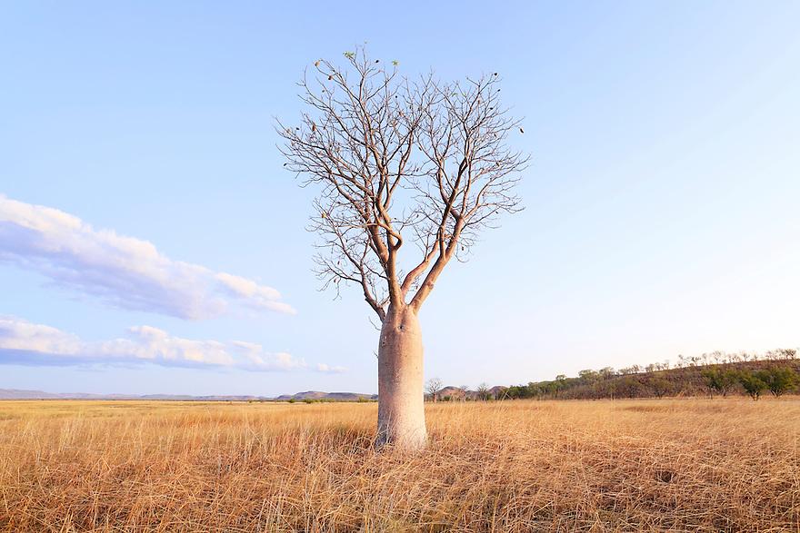 Boab tree. Wyndham. Western Australia.