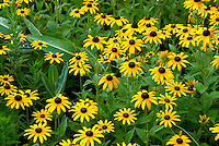 Wild, native perennial Black-eyed Susans (Rudbeckia fulgida) growing in a prairie remnant with Sullivant's Milkweed (not in bloom). Marion County, Ohio, USA.