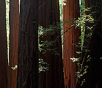 Muir Woods National Monument, CA<br /> Sunlight in a grove of Coast Redwoods (Sequoia sempervirens)