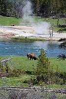 Bison Grazing Near Mud Volcano Along Yellowstone River, Hayden Valley, Yellowstone National Park