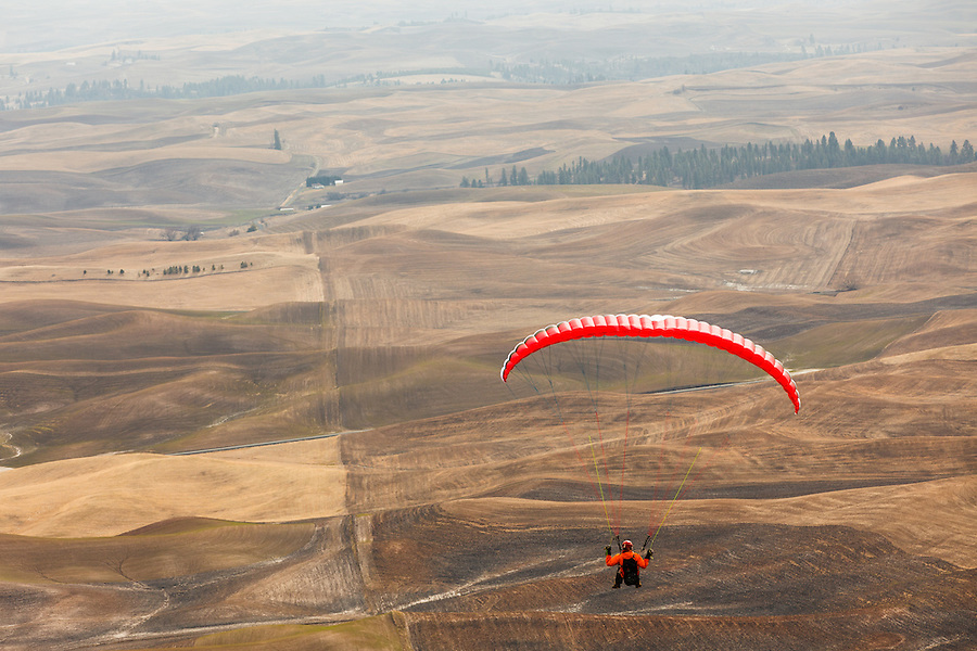 One adult male glides above the Palouse from Steptoe Butte in Eastern Washington State.