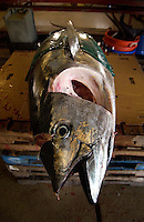 The tuna's head is removed before final weigh.