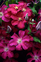 Clematis Remembrance, red pink flowering vine