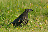 Common Raven (Corvus corax) in field.  Pacific Northwest.  Summer.