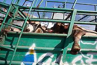 O navio ABOU KARIM de bandeira libanesa, carrega  e tripulação síria 3.500 cabeças de gado com destino a Venezuela, Foto Paulo SantosPorto de Vila do  Conde, Barcarena, Pará, Brasil.08/10/2013