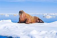 Atlantic walrus, Odobenus rosmarus rosmarus, one of three subspecies of walrus, Odobenus rosmarus, hauling out, basking on ice, near Igloolik, northern Baffin Island, Nunavut, Canada, Foxe Basin, Atlantic Ocean, Arctic Ocean
