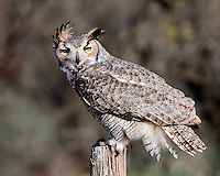 Great Horned Owl along the roadside in west Texas.