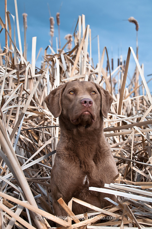 A female Chesapeake  Bay retriever scans the sky while sitting in cattails during a waterfowl hunt.