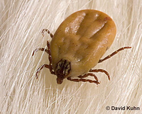 """0710-07xx American Dog Tick """"engorged with blood on white dog hair"""" - Dermacentor variabilis  © David Kuhn/Dwight Kuhn Photography"""