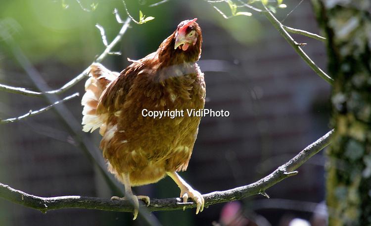 Foto: VidiPhoto..SOMEREN - Bij de biologische kippenboer Coumans uit Someren Heide is vrijdagmiddag als eerste Nederlandse kippenhouder een eind gekomen aan de ophokplicht. Coumans was de eerste die zijn kippen heeft laten vaccineren. Hij mocht ze daarom vrijdag ook als eerste weer naar buiten doen. Ongevaccineerde kippen mogen op 1 mei naar buiten. De scharrelkippen van Coumans mogen in de herfst, als de ophokplicht opnieuw van kracht wordt, waarschijnlijk buiten blijven omdat ze gevaccineerd zijn.